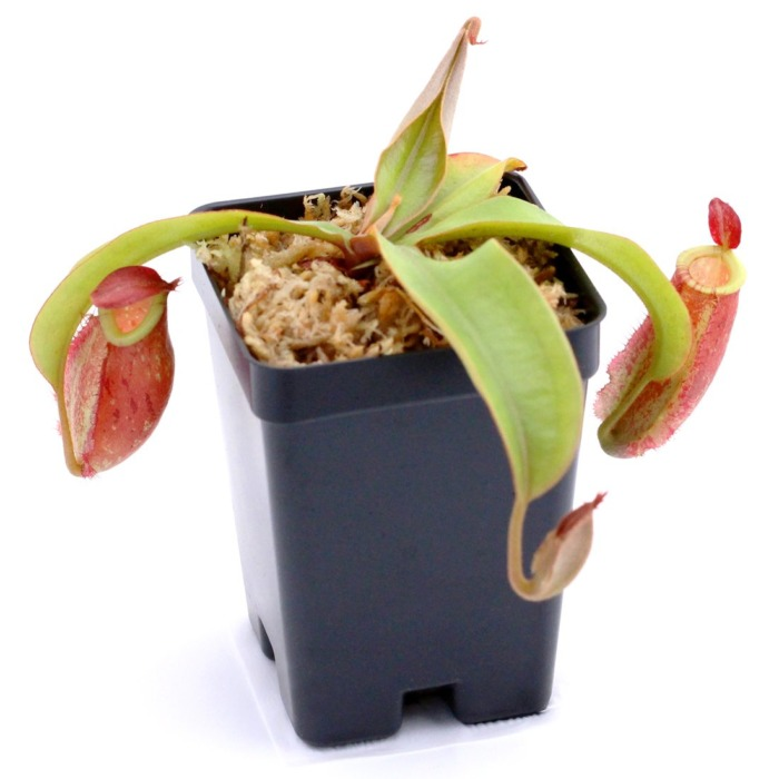 Nepenthes ampullaria 'Lime Twist'