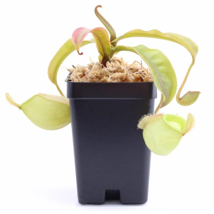 Nepenthes ampullaria 'Orange'