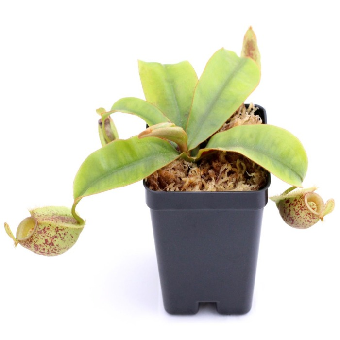 Nepenthes ampullaria 'Speckled'