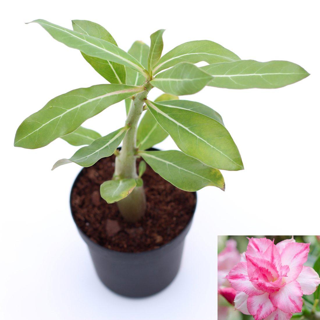 LIVE Pink Desert Rose Wanida Plant Adenium Obesum