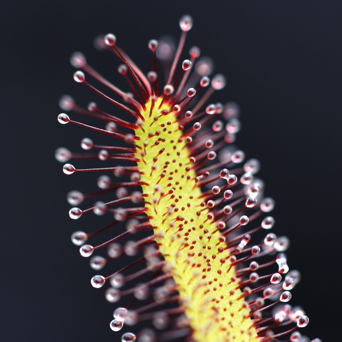 Drosera capensis 'Typical'