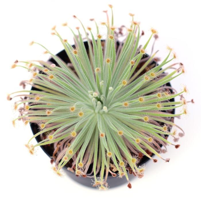 Drosera derbyensis