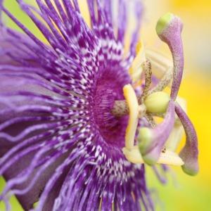 Passiflora incarnata x cinnicata (Passion Flower)