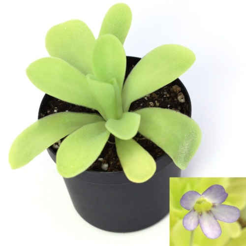 Pinguicula agnata 'True Blue'