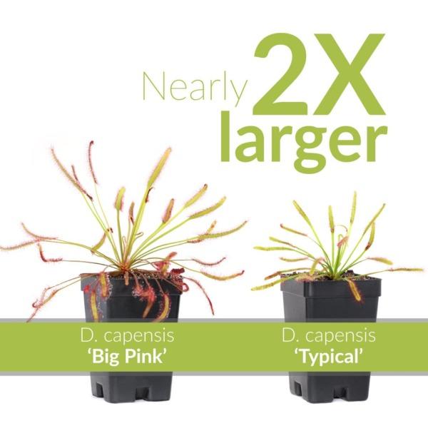 Drosera capensis 'Big Pink'