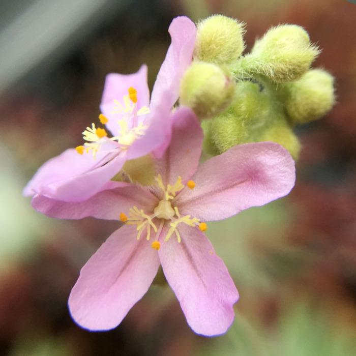 Drosera ordensis Flower