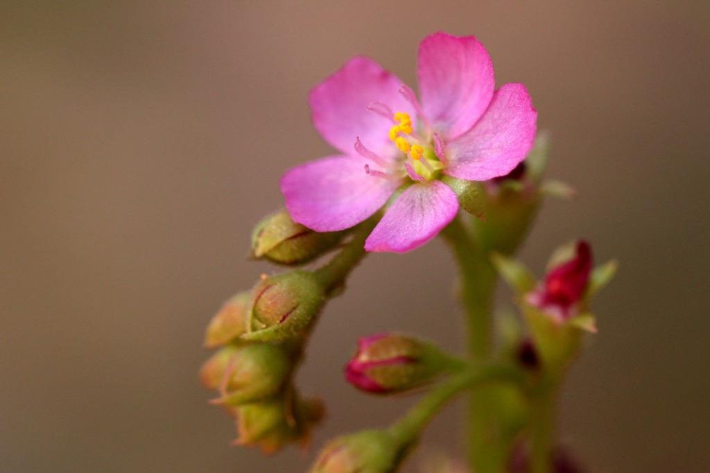Fraser Island Pink Flower Sundew (Lake Wabby)