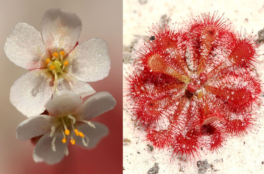 Fraser Island White Flower Sundew (Lake McKenzie)