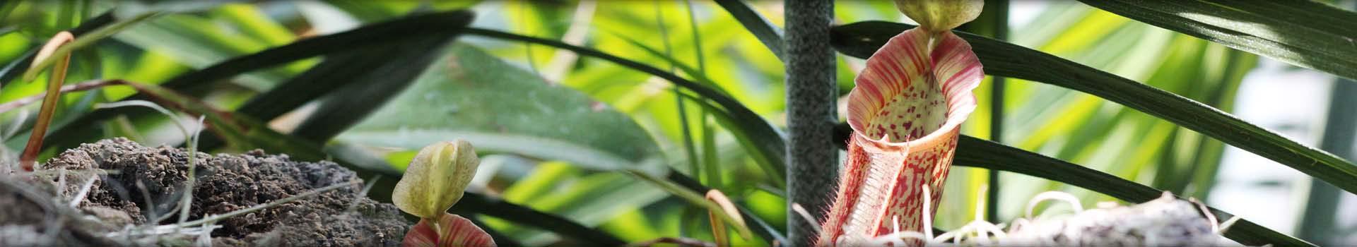 Shop Tropical Pitcher Plants (Nepenthes)