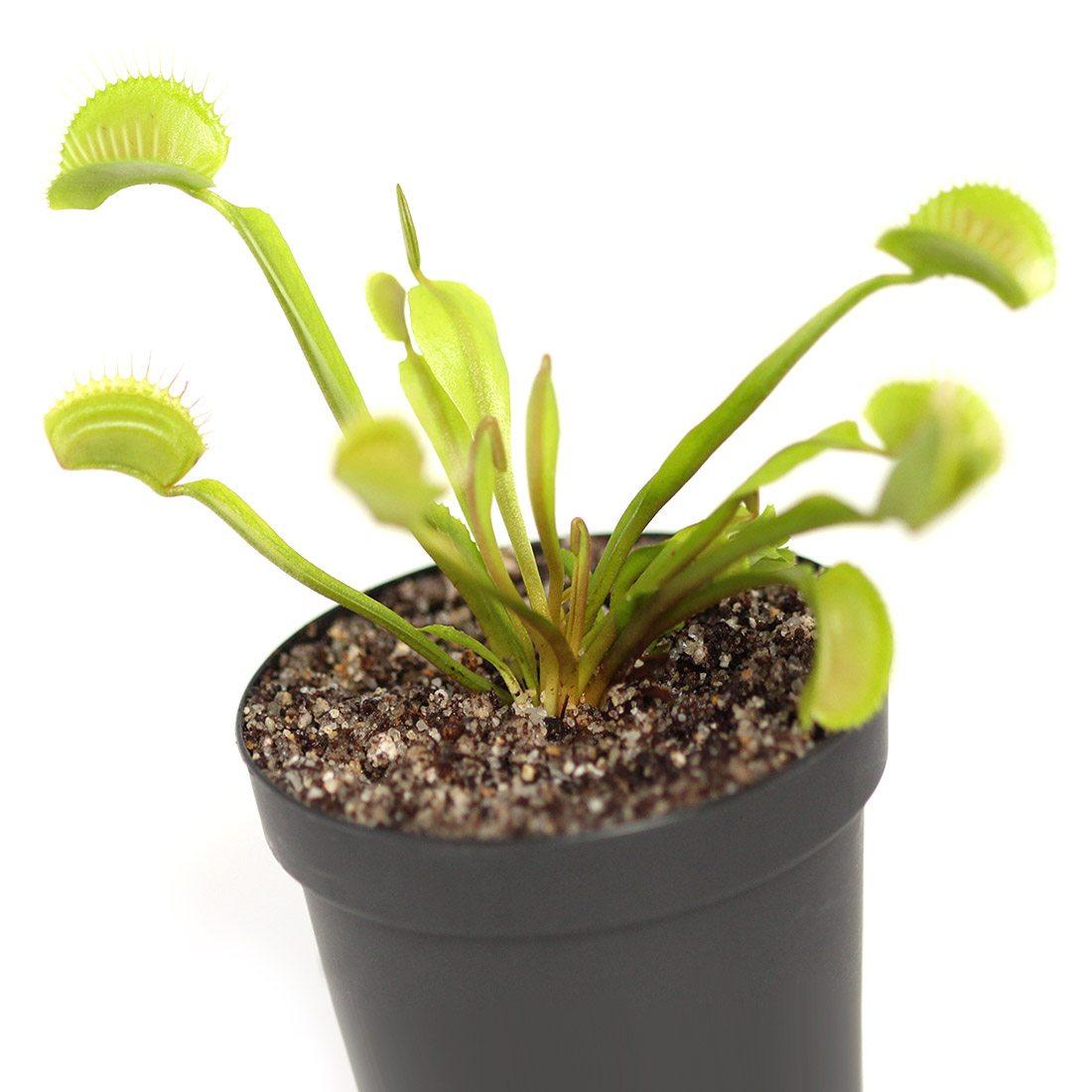 Dionaea muscipula 'Typical'