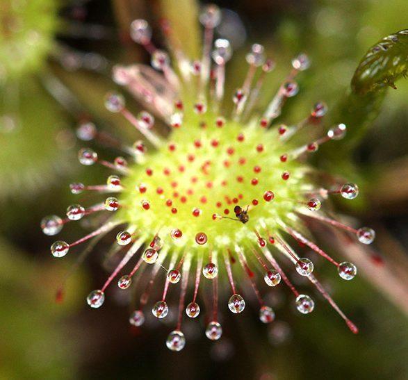 Drosera rotundifolia - Cedar Bog