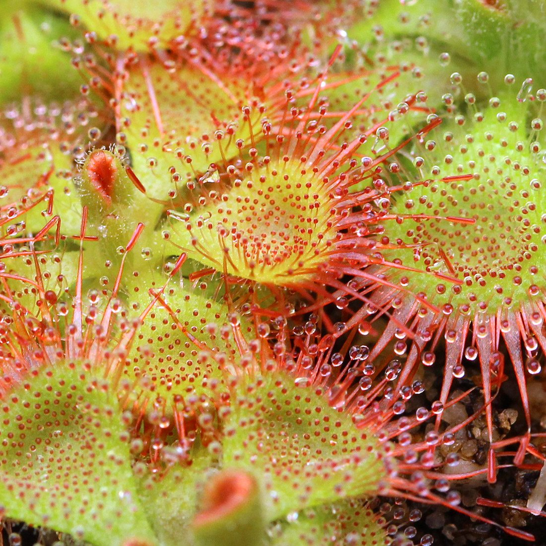 Drosera sessilifolia