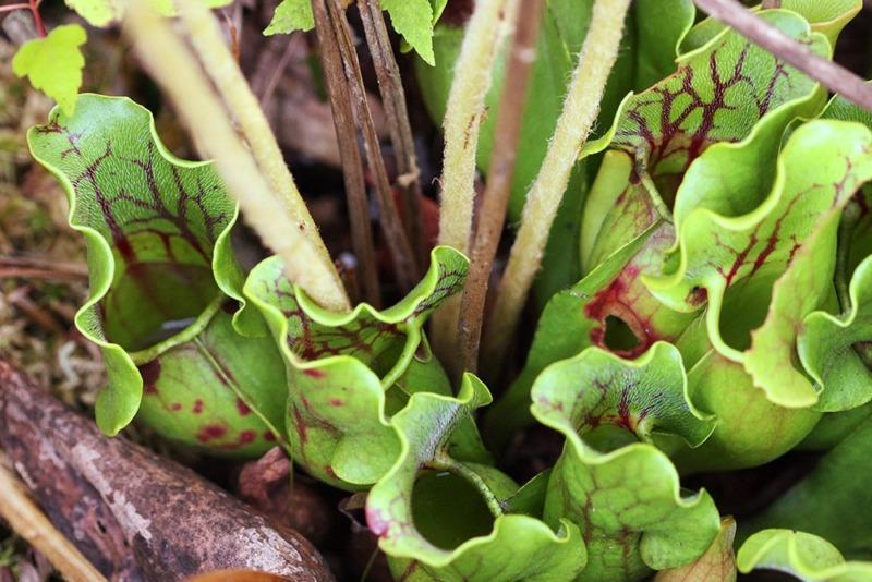 Sarracenia purpurea - Brown's Lake Bog Preserve