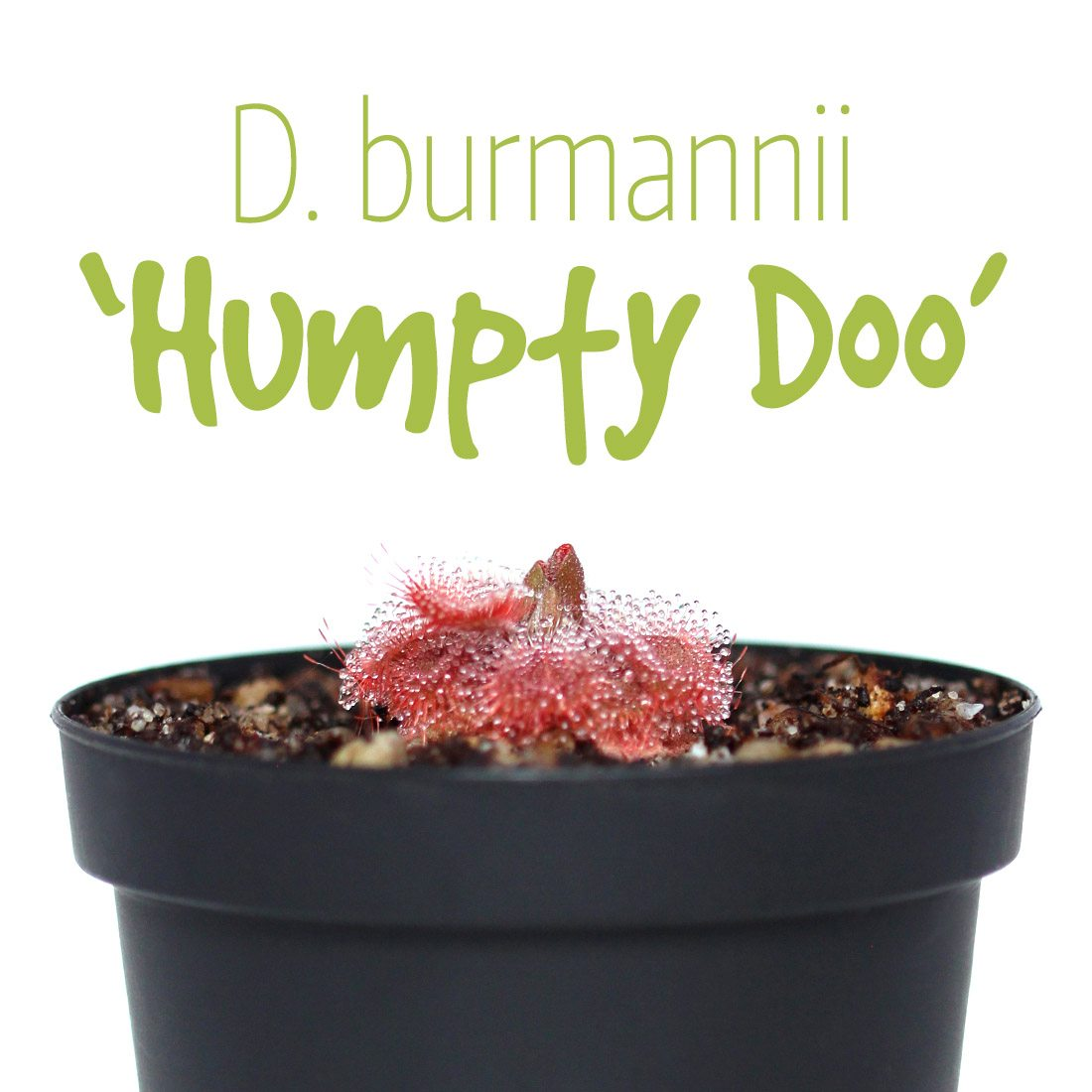 Drosera burmannii 'Humpty Doo'