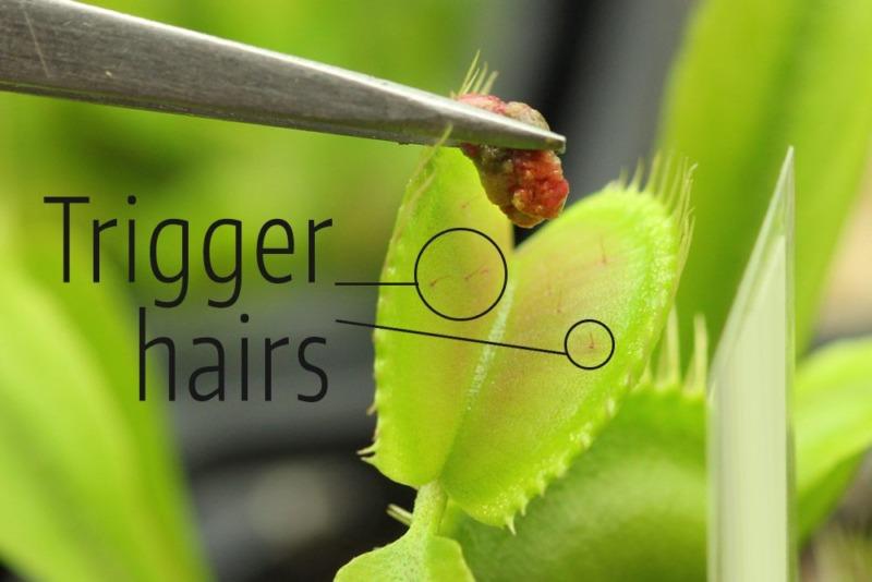 Feeding Venus Flytrap with Tweezers