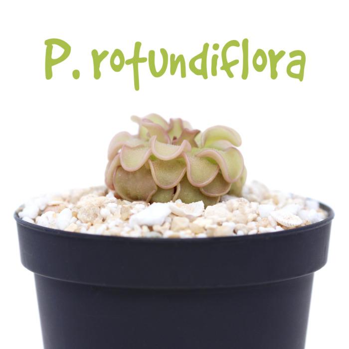 Pinguicula rotundiflora