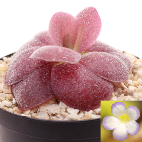 Pinguicula agnata 'Red Leaf'