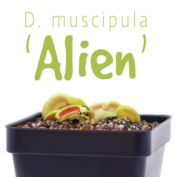 Dionaea muscipula 'Alien'