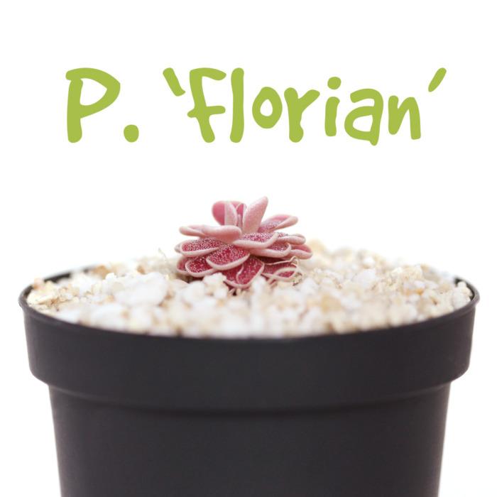 Pinguicula 'Florian'