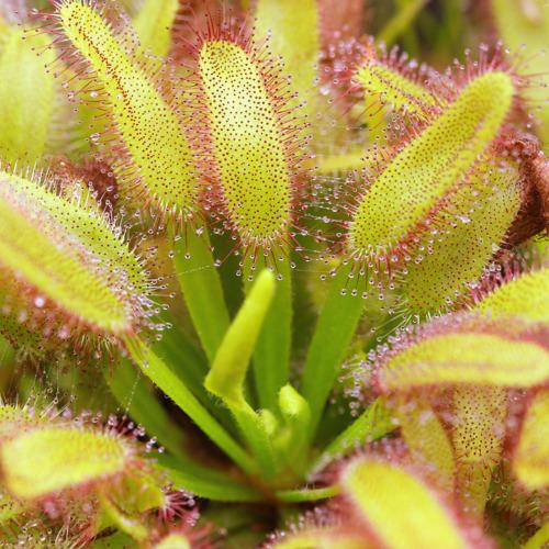 Drosera capensis 'Wide Leaf'