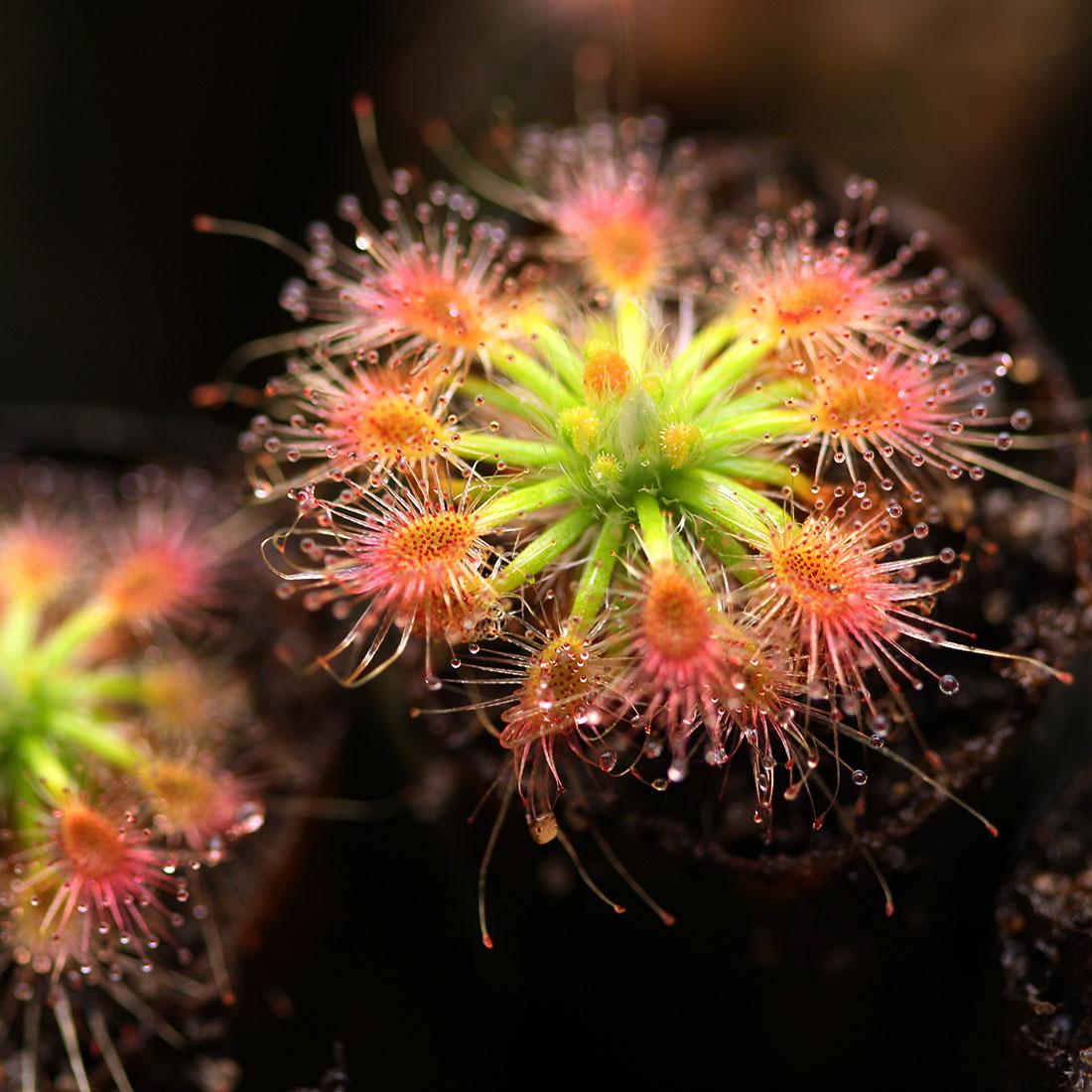 Drosera sewelliae