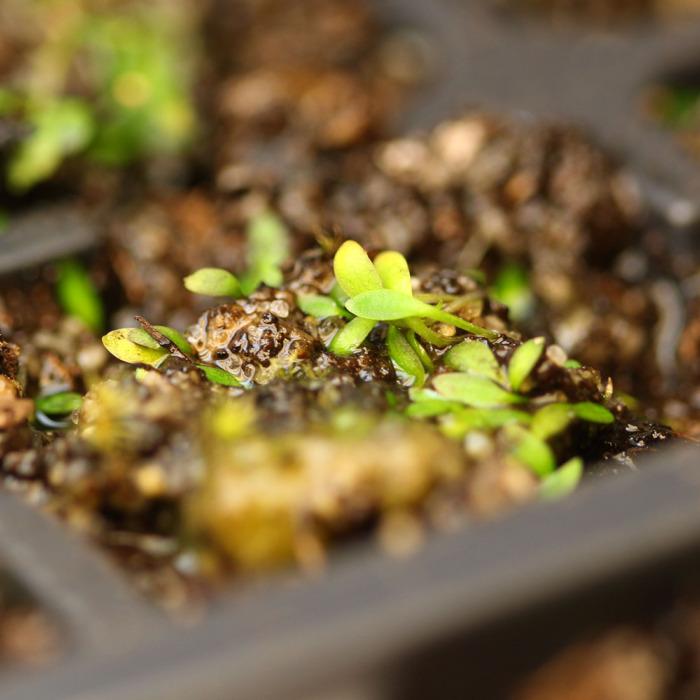 Utricularia dichotoma