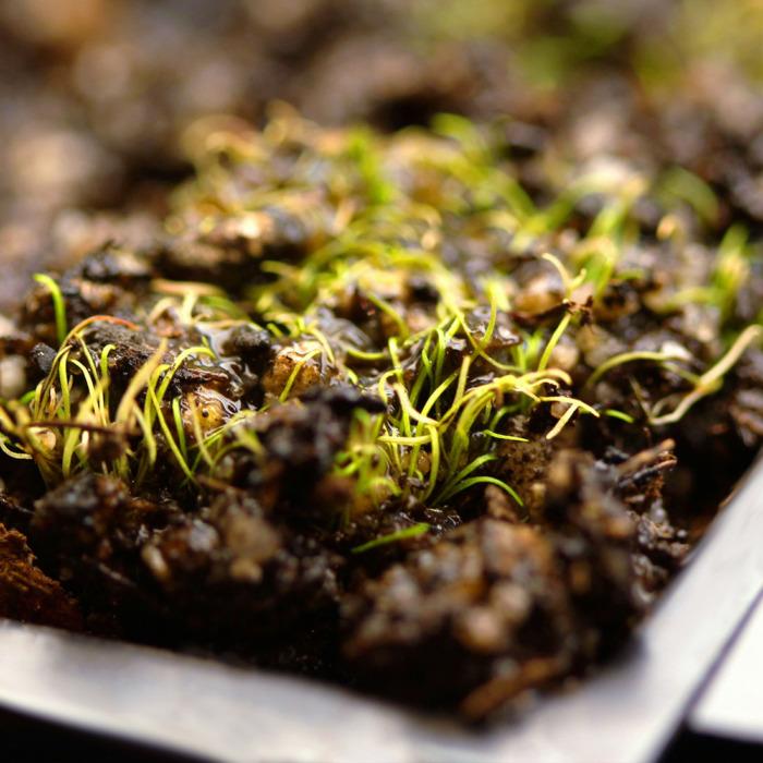 Utricularia fulva 'Rockhole, WA'