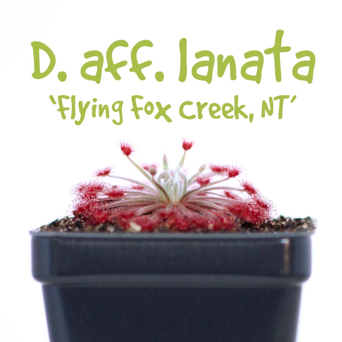 Drosera aff. lanata 'Flying Fox Creek, NT'