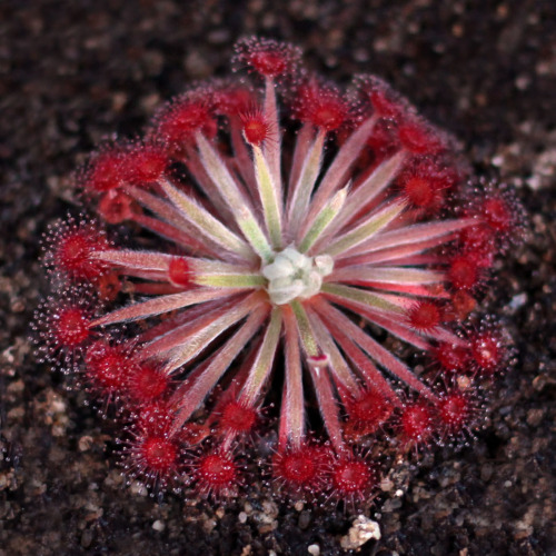 Drosera aff. lanata 'Flying Fox Creek, NT'