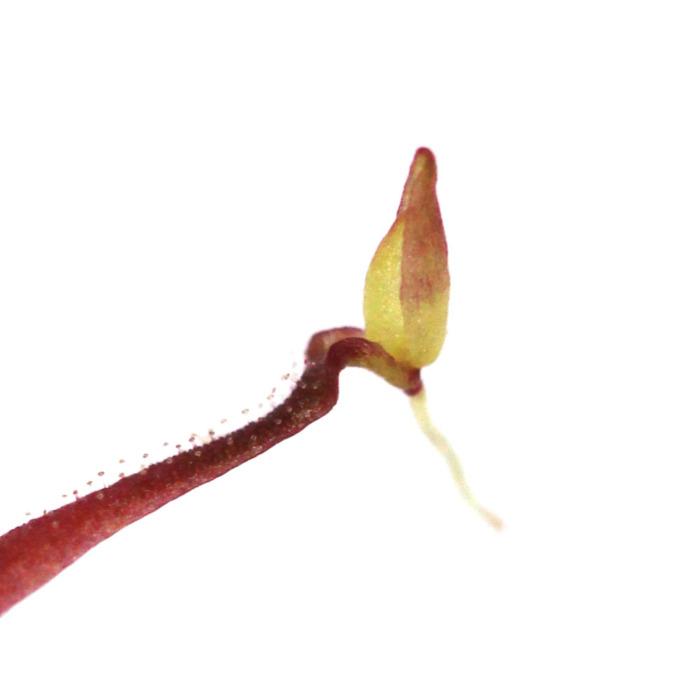 Pinguicula medusina plantlet