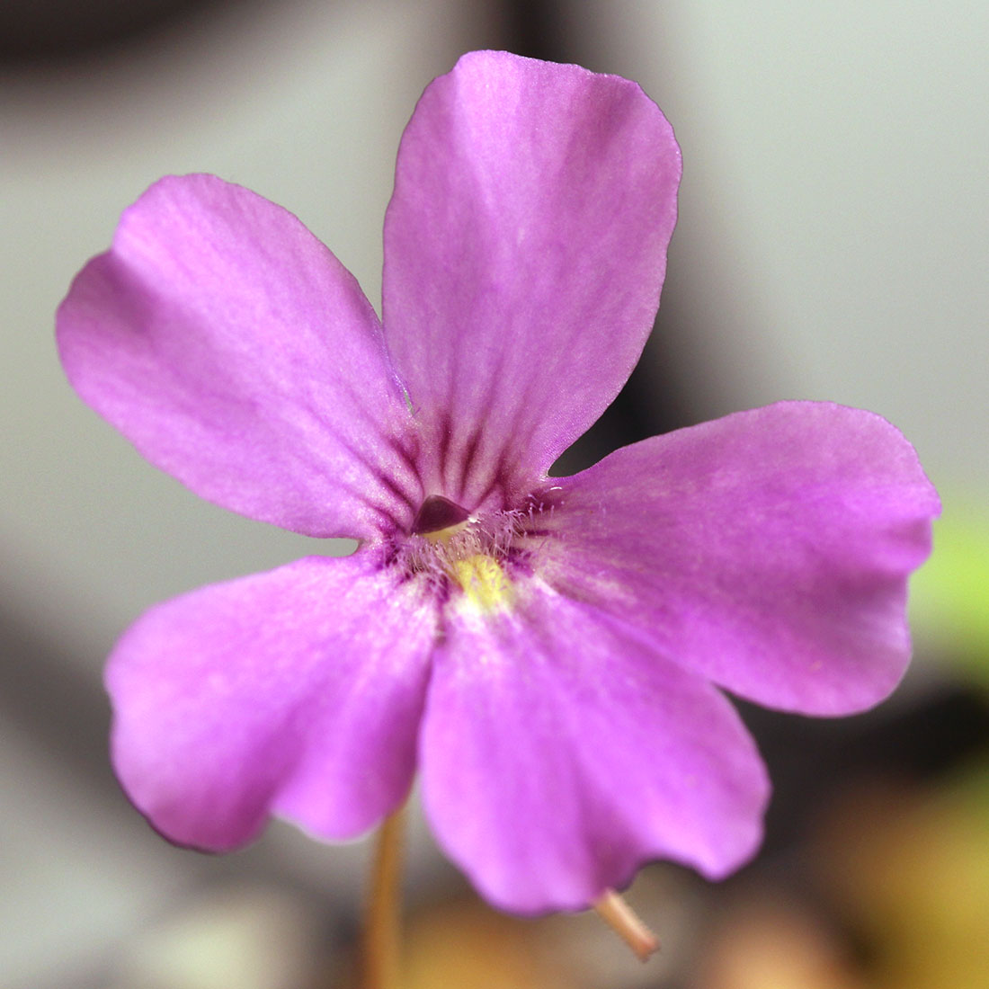 Pinguicula rotundiflora x gypsicola
