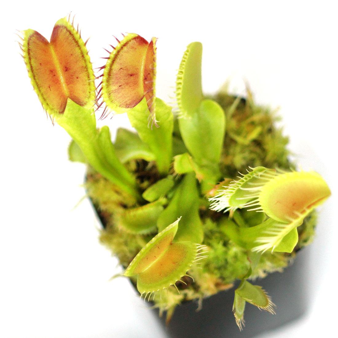 Dionaea muscipula 'B52'