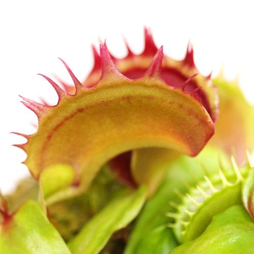 Dionaea muscipula 'Fuzzy Teeth'