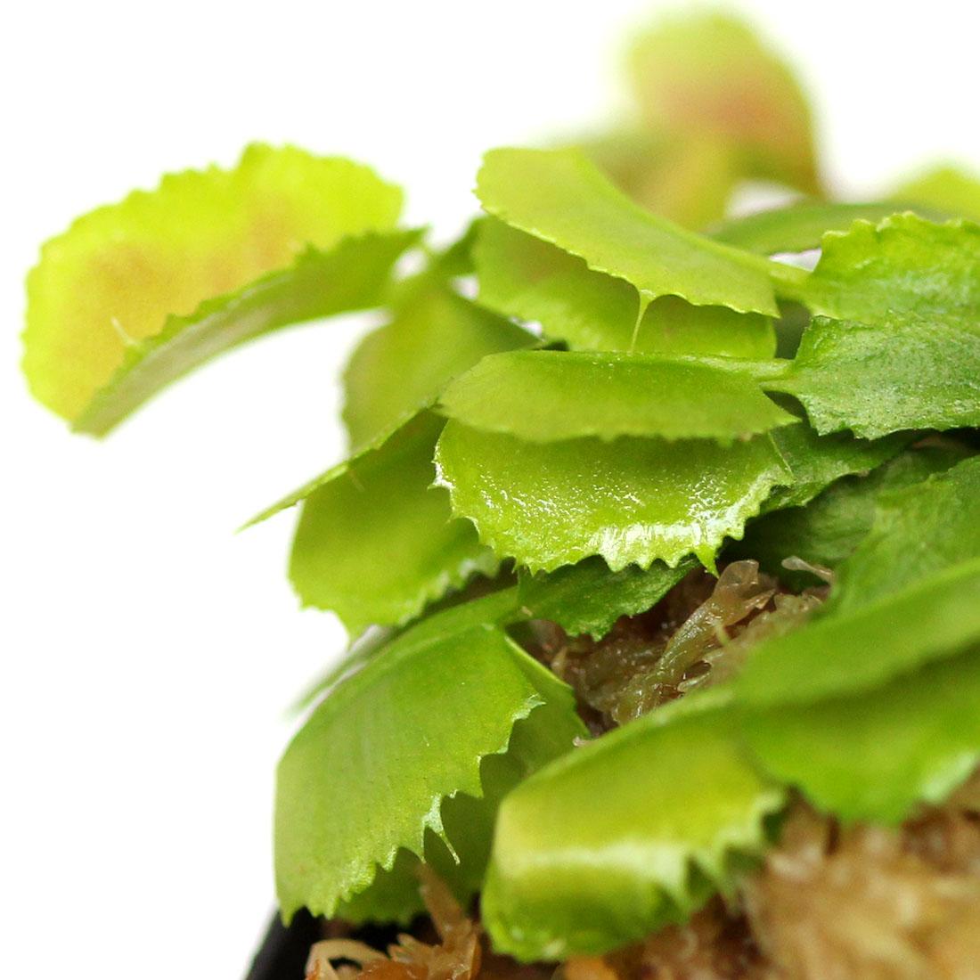 Dionaea muscipula 'Wacky Traps'