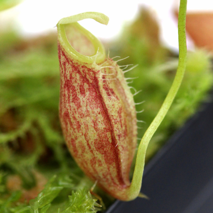 Nepenthes glabrata
