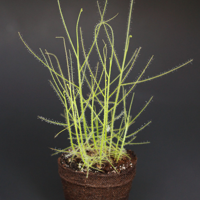 Byblis filifolia 'Giant' Pago, Kimberley