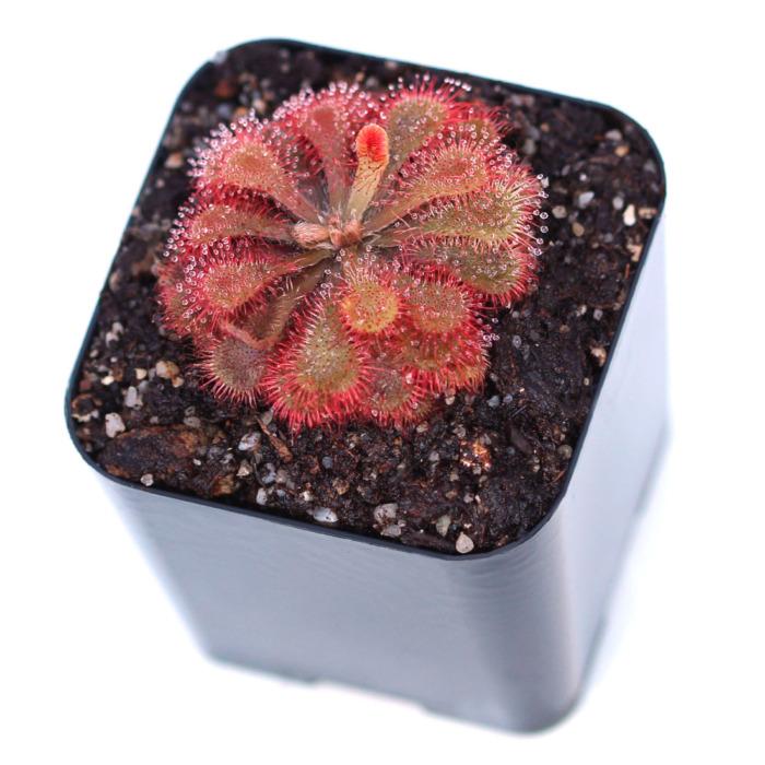 Drosera natalensis