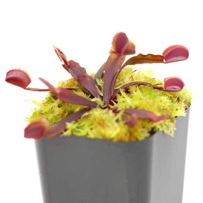 Dionaea muscipula 'All Red'