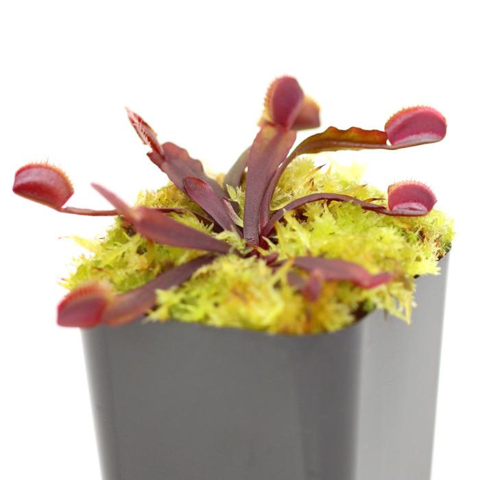 Dionaea muscipula 'All Red'