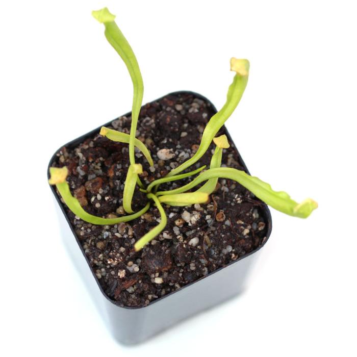 Sarracenia purpurea var. heterophylla