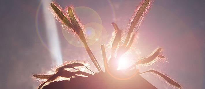 Carnivorous Plant Light Acclimation