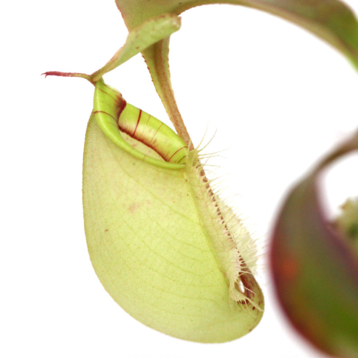 Nepenthes x hookeriana 'Green Form'