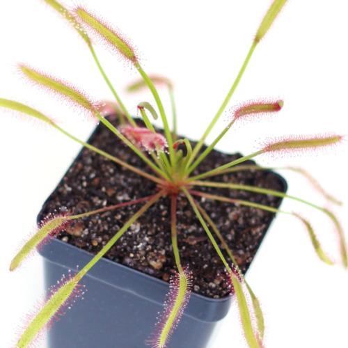 Drosera capensis 'Narrow Red Leaf'