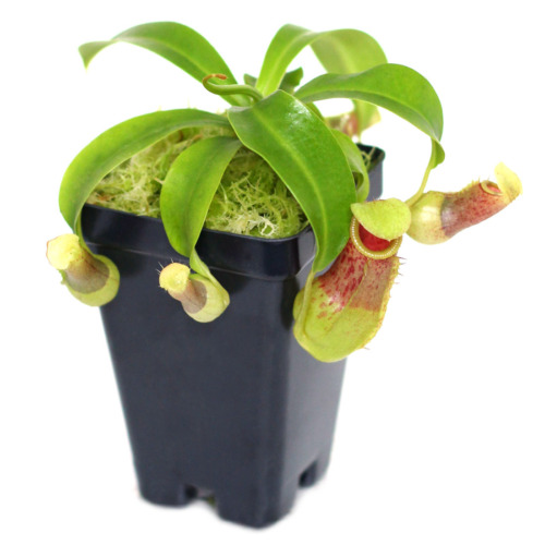Nepenthes burkei